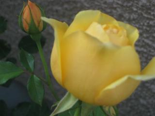 rose2013-1+199_convert_20150906132826.jpg