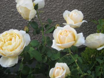 rose2013-1+281_convert_20150906131510.jpg