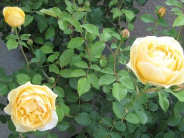 rose2013-1+288_convert_20150906131550.jpg