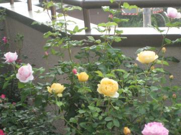 rose2013-1+297_convert_20150906135532.jpg