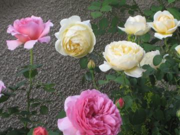 rose2013-1+298_convert_20150906131243.jpg