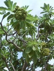 モンパノキ(紋羽の木)