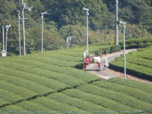 茶畑の水まき