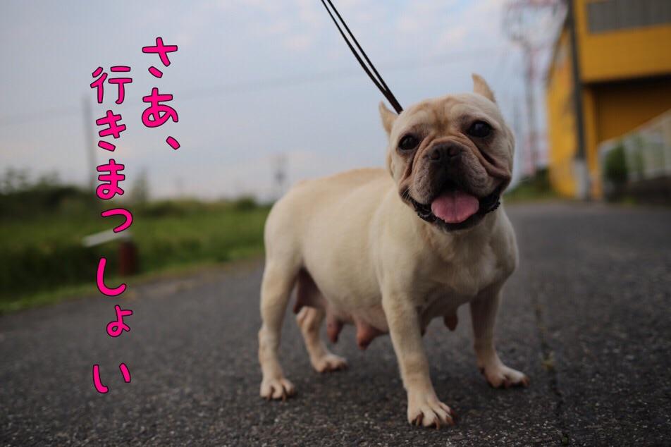 フレンチブルドッグ 出産 子犬 愛知 1