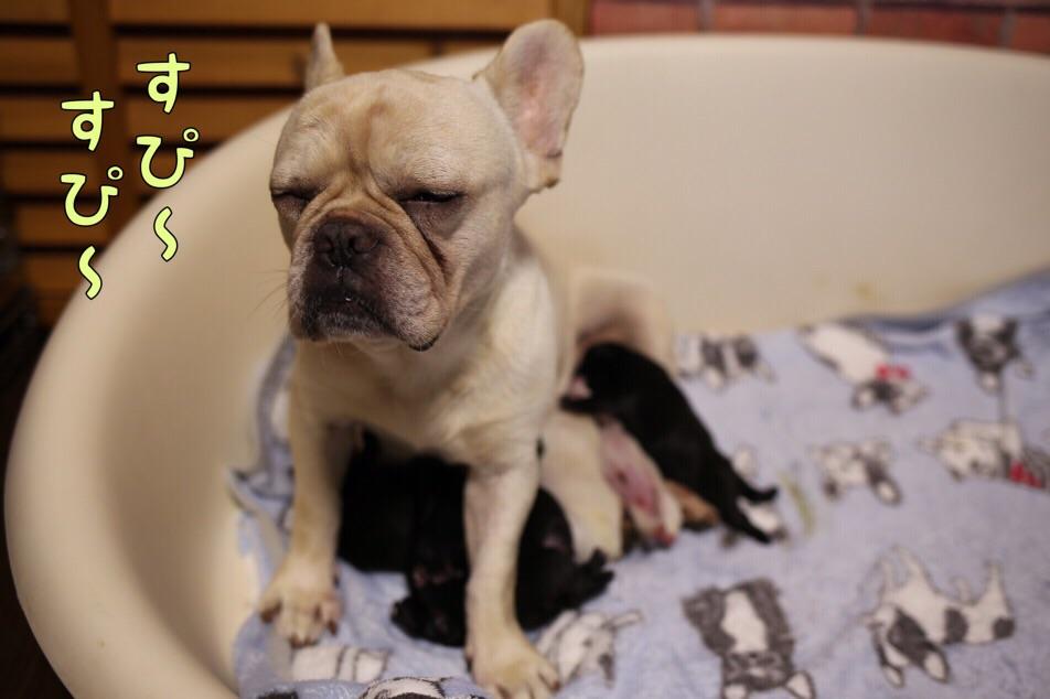 子犬 フレブル ブリーダー 寝る 5
