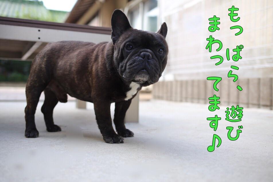 フレブル 子育て 子犬 JKCチャンピオン 5