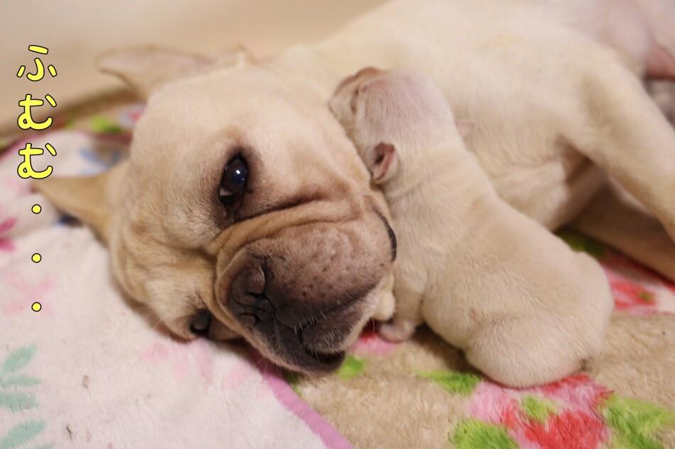 フレンチブル 子犬 クリーム CH 2