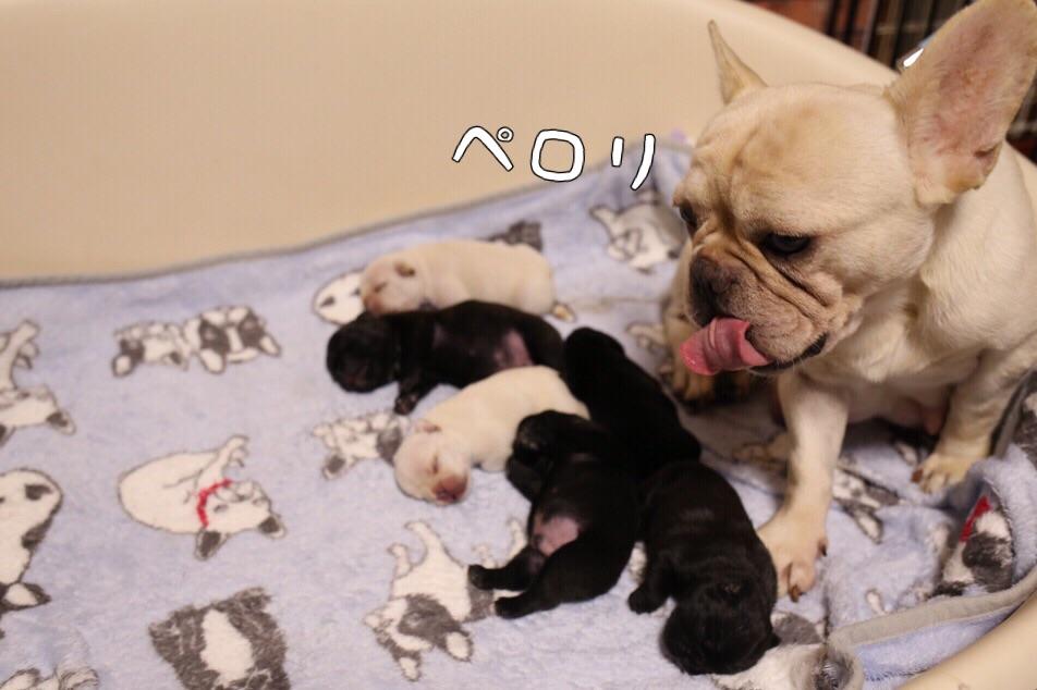 フレンチブルドッグ 子犬 寝姿 3