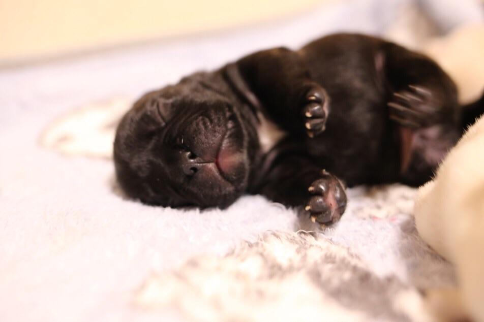 フレンチブルドッグ 子犬 寝姿 5