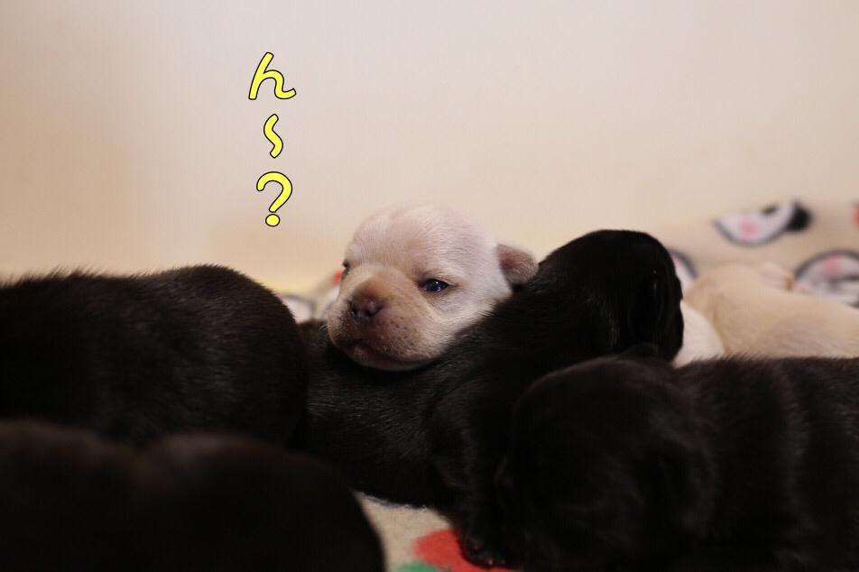 フレンチブルドッグ 子犬 目が開いた 1