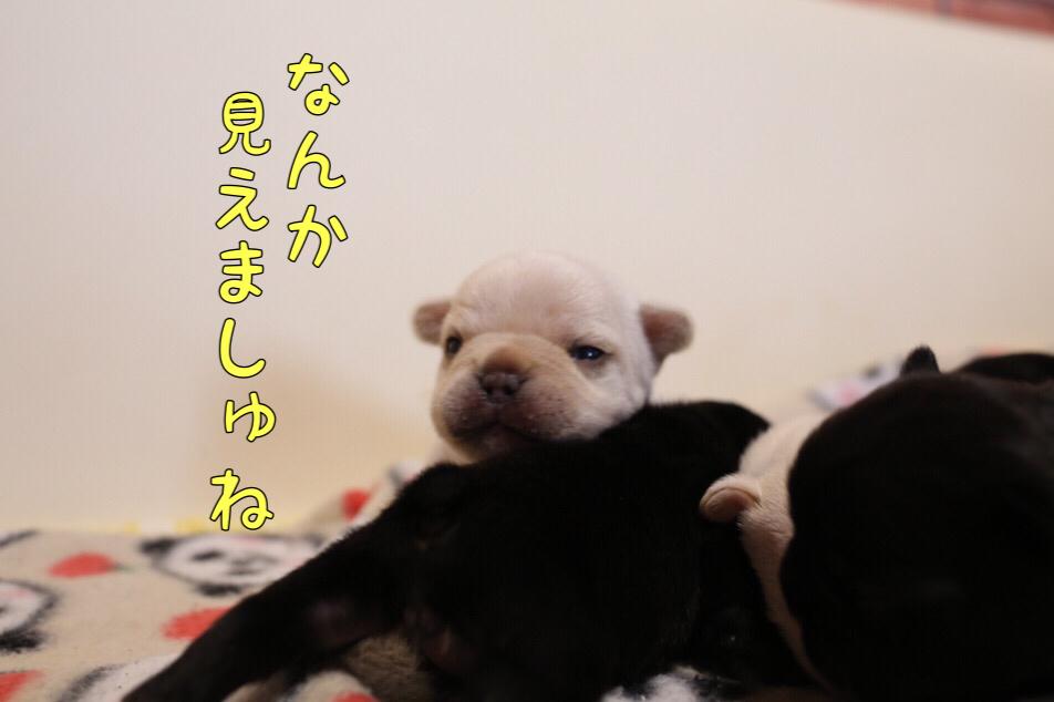 フレンチブルドッグ 子犬 目が開いた 2