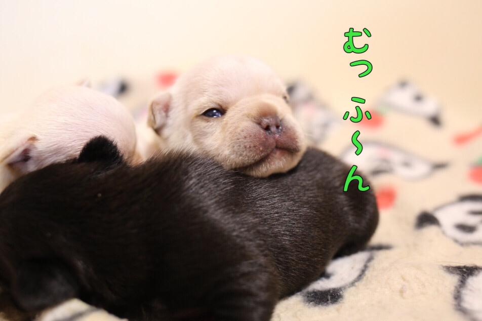 フレンチブルドッグ 子犬 目が開いた 3
