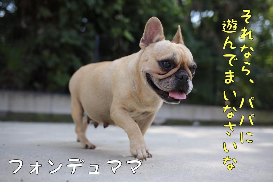 フレブル JKCチャンピオン イーゴォ 2