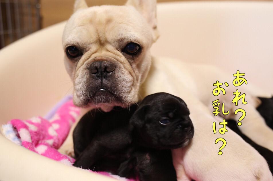 フレンチブルドッグ 子犬 ブリーダー 愛知県 立ち飲み 10