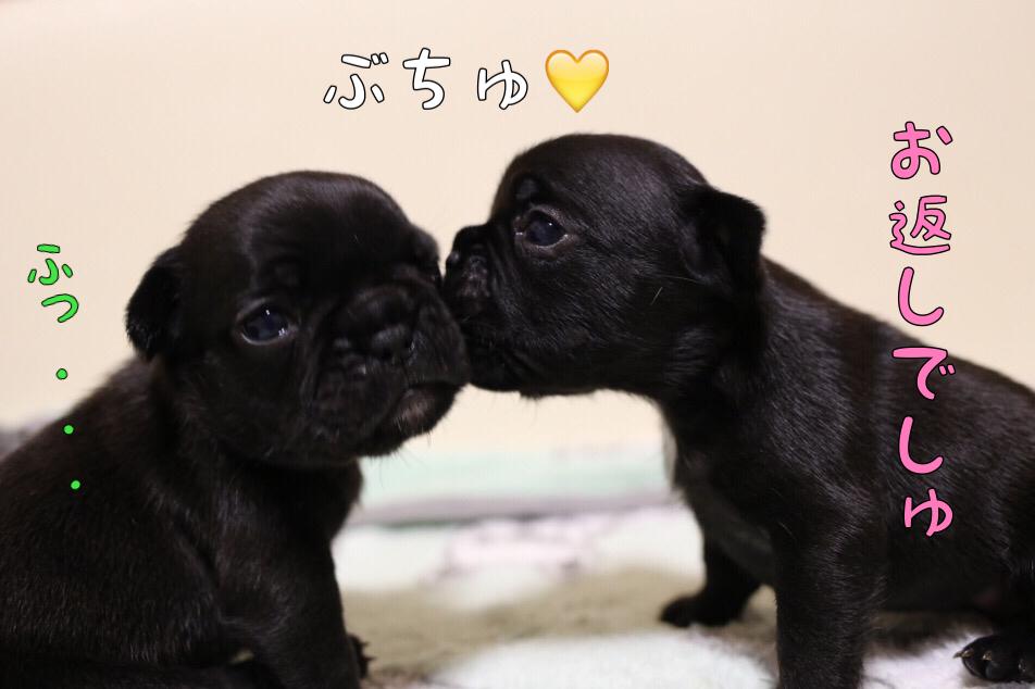 子犬 フレンチブルドッグ 日常写真 4