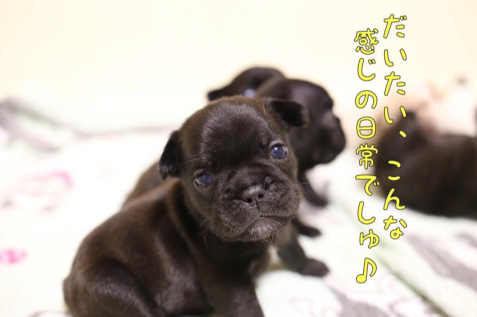 子犬 フレンチブルドッグ 日常写真 5