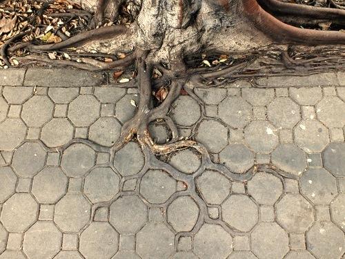 タイルの目に沿って生える木の根1