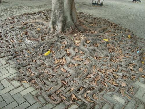 タイルの目に沿って生える木の根2