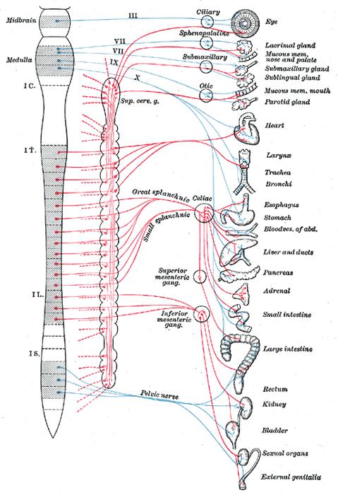 遠心性交感神経系