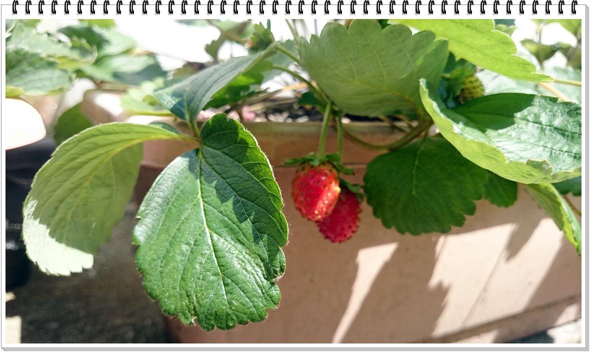 20150928_四季なりイチゴ収穫