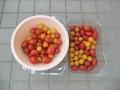 ミニトマト②