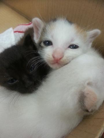 生後二週間 子猫
