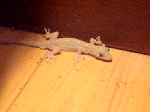 gecko-4.jpg