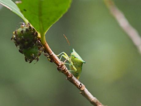 モンキツノカメムシ母&幼虫