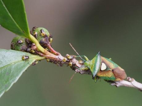 モンキツノカメムシ母&幼虫2