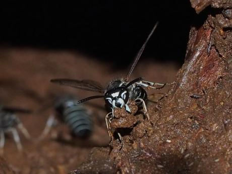 シダクロスズメバチ2