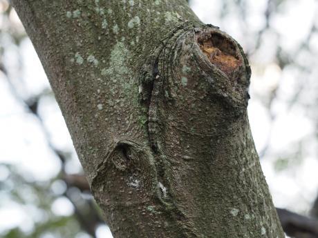 カギバトモエ幼虫