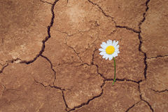 daisy-flower-desert-dry-land-44033598.jpg