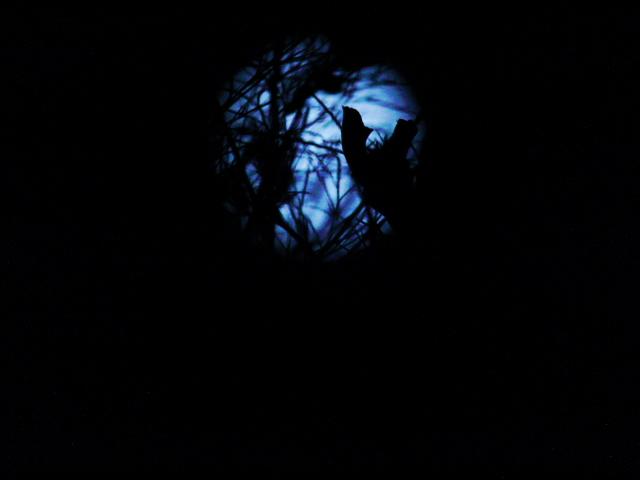 月光コスモス1