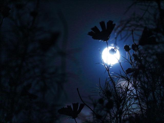 月光コスモス3
