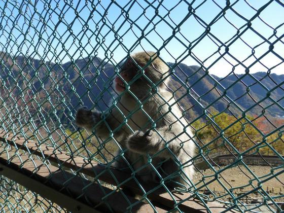 檻をガチャガチャと揺らして格闘する猿