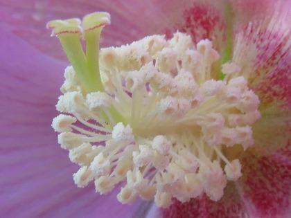 芙蓉の花 (2)