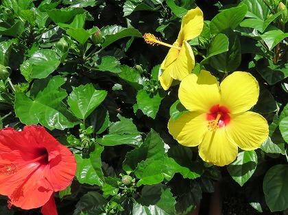 ハイビスカスの花 (1)