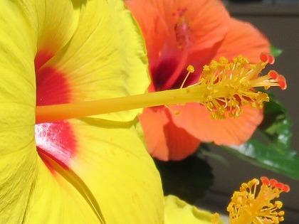 ハイビスカスの花 (3)