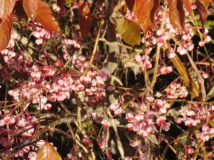 カントウマユミの紅葉 (3)