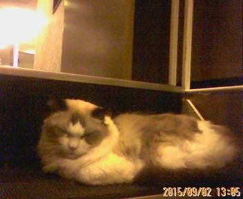 階段で寝る猫スタッフ様