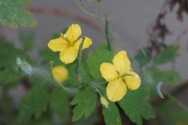とっても小さい黄色のお花