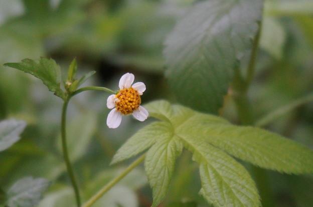 とっても小さな白いお花