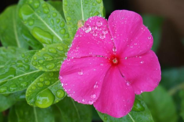 ショッキングピンクの花