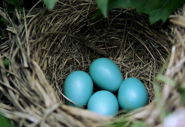 コマドリの卵の色_ティファニーブルー