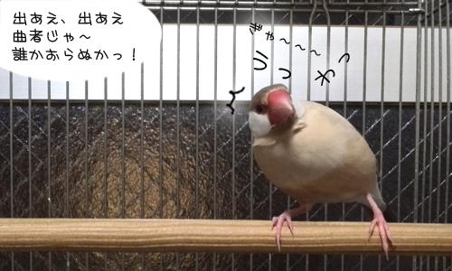 見てしまった文鳥たち_1