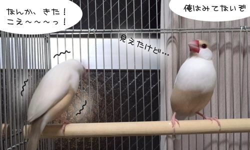 見てしまった文鳥たち_3