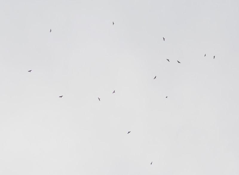 サシバの群れ 1 6541