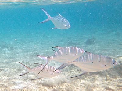 カナール島のお魚