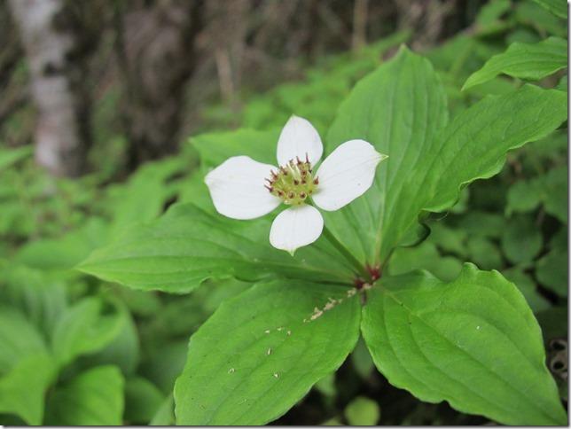 t ゴゼンタチバナ 白い花弁に見えるのは総苞片で、花は中心部に多数集まっている