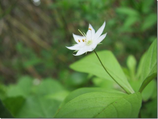t ツマトリソウ 花弁の先端が赤くつまどられているのでこの名前